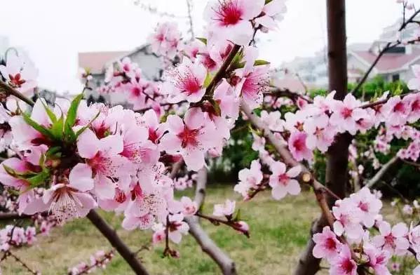一枝桃花画法步骤图解