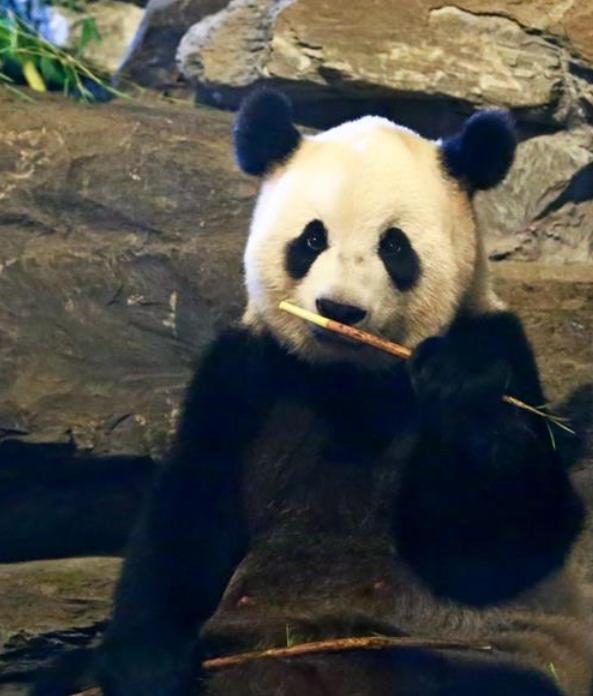 比利时动物园游客爆棚 为见大熊猫萌宝排队数小时