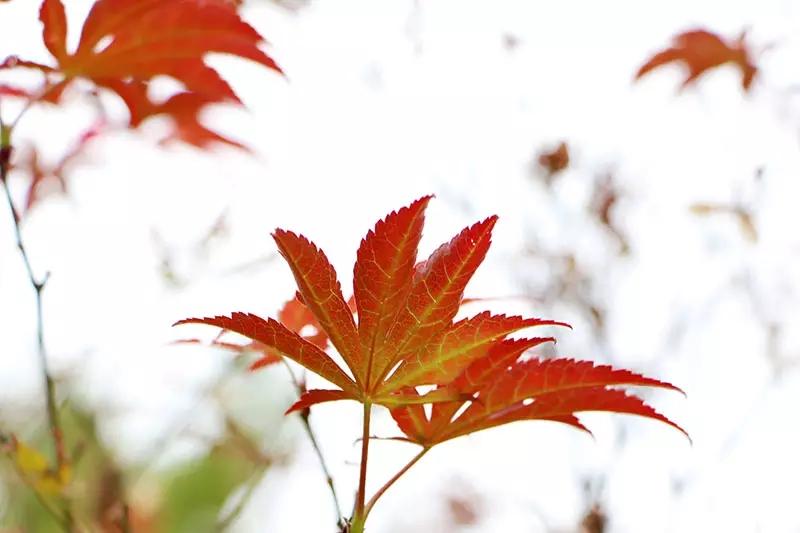 学校栽培的枫树主要有红枫,鸡爪槭和五角枫等.