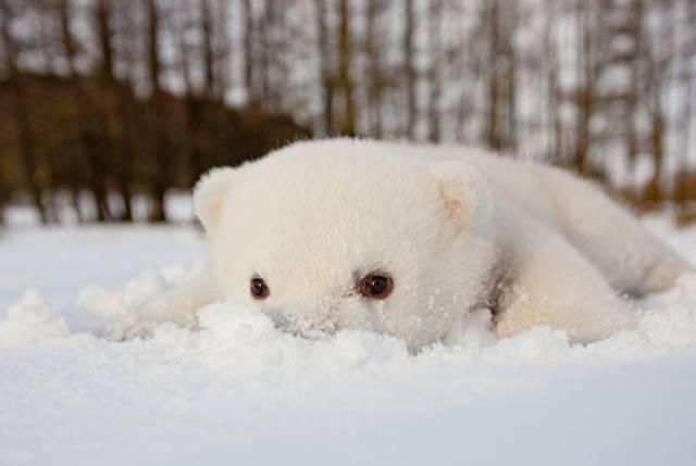给它一个大大的拥抱 第一次见到雪的北极熊 对它来说 这一定是生命中