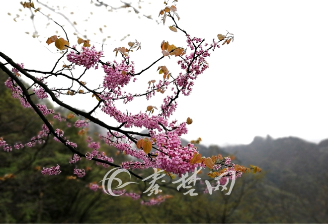 武当山独有的这种花 今日进入盛放期