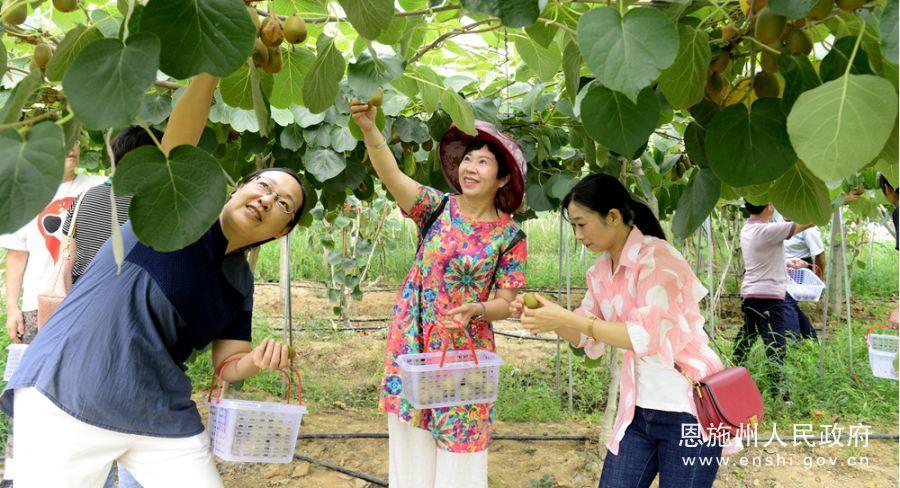 恩施龙凤镇生态猕猴桃吸引众多游人