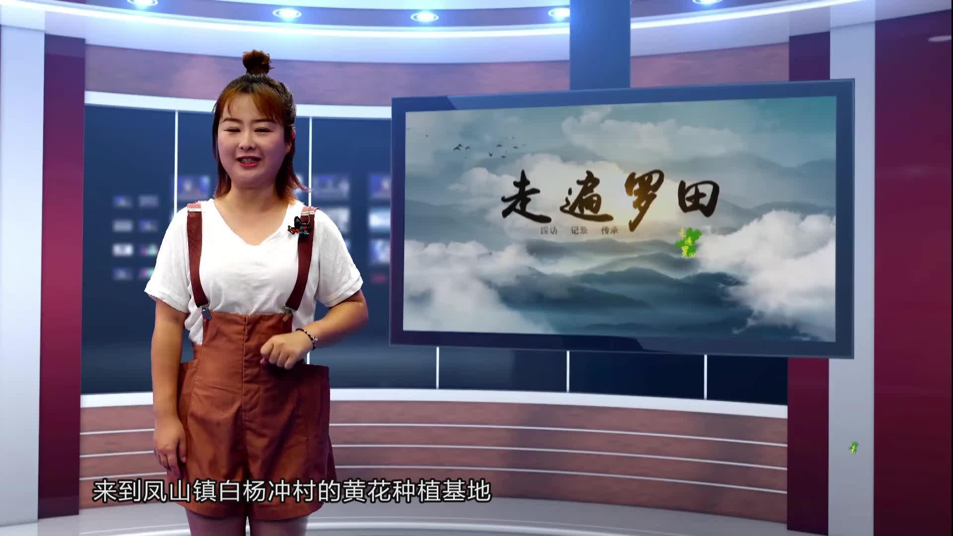 【走遍罗田】小黄花撬动大产业