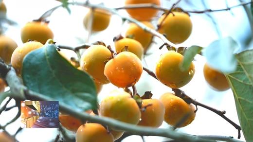 罗田县錾字石甜柿上市