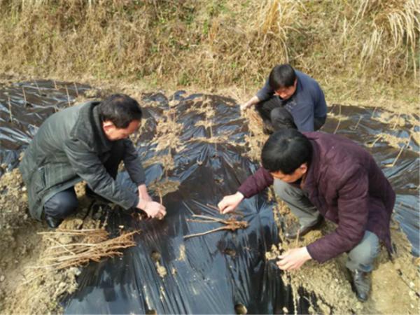 姚坪乡:产业发展重节点 抢种银杏促扶贫