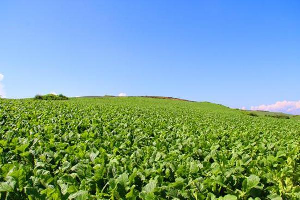 在野人谷镇建设高山蔬菜基地1500亩,在中坝乡,门古寺镇新建魔芋基地