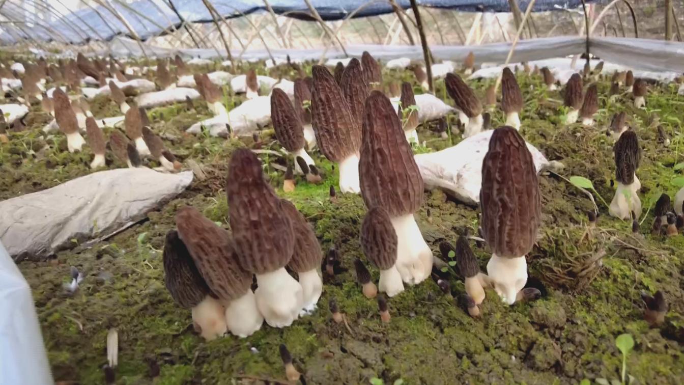 ?红塔镇六谷村:羊肚菌喜获丰收