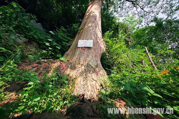 发财树林风景图片