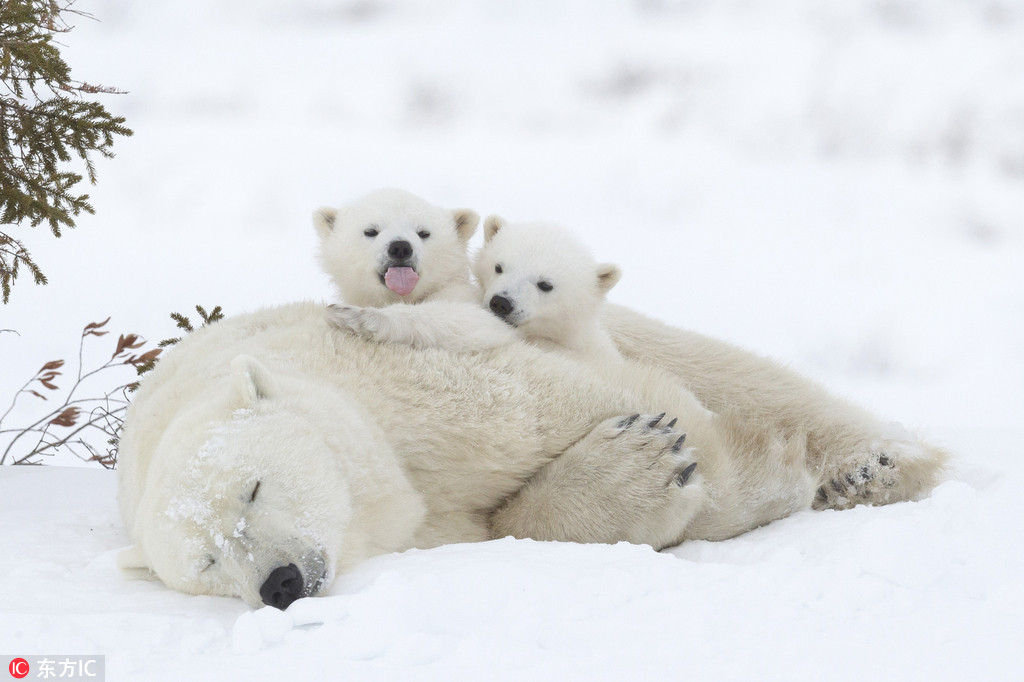但两个可爱的熊孩子却玩性大发,看妈妈睡着会就立马爬到它身上想要