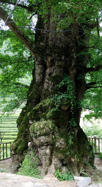 如诗如画甘溪坪——好大一棵树!_云上恩施