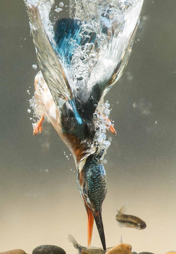 翠鸟精准捕鱼瞬间 水泡四起画面震撼