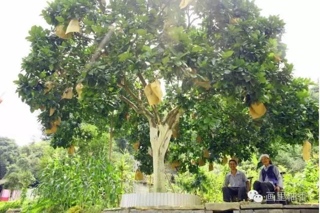 百年老树沙地白柚