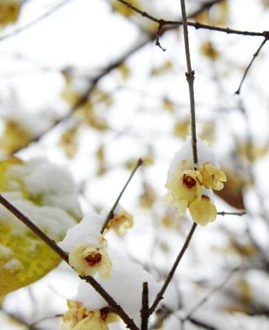 湖北保康6万亩野生腊梅迎雪绽放
