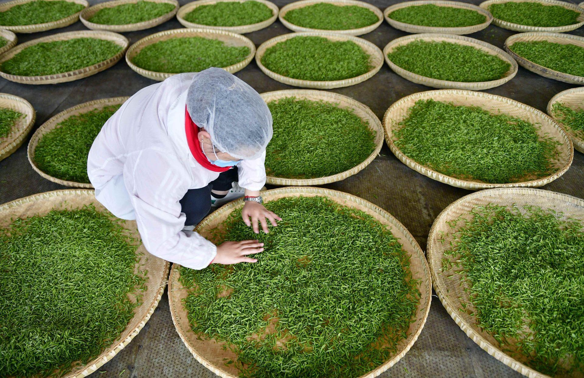 湖北宣恩:春茶生产忙