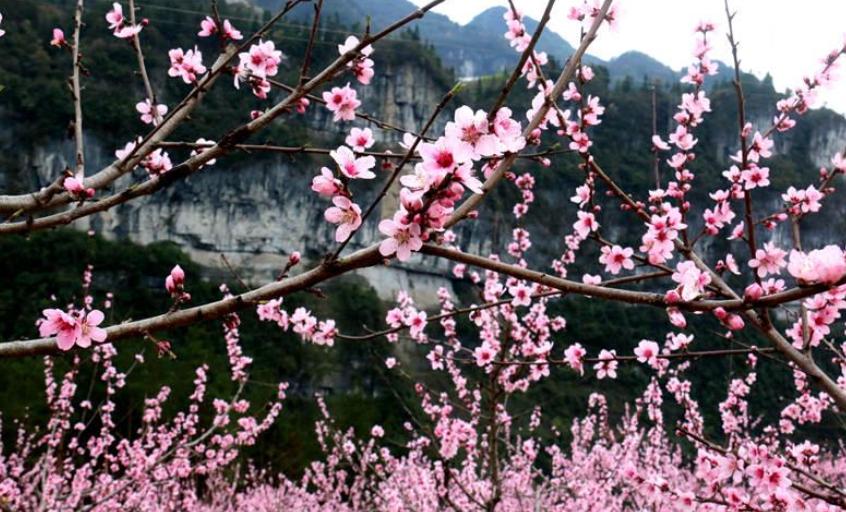湖北鹤峰:大山深处桃花开 引得八方游人来