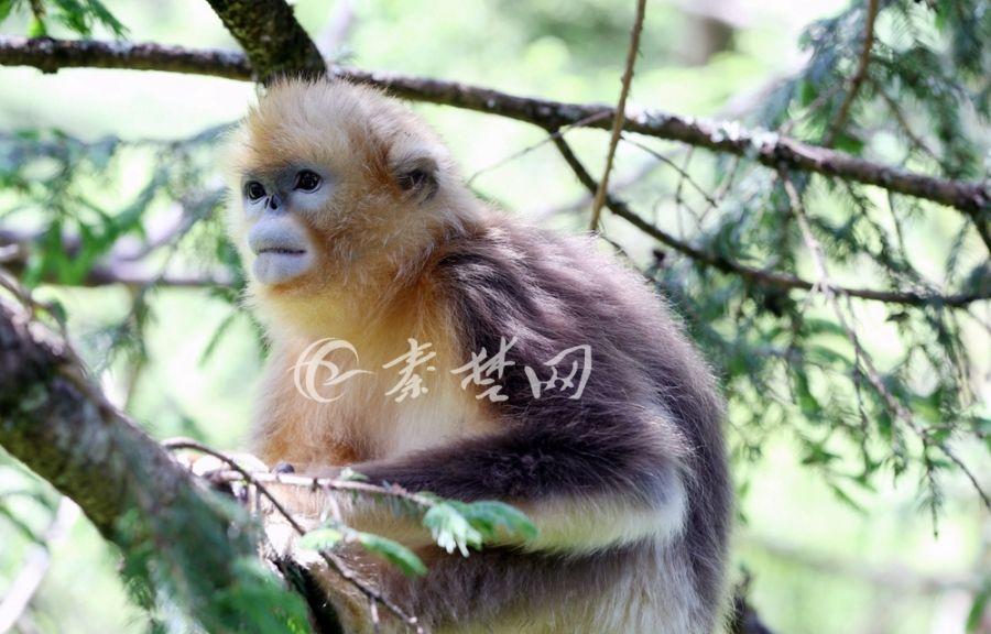 有一種萌,叫神農架的金絲猴!