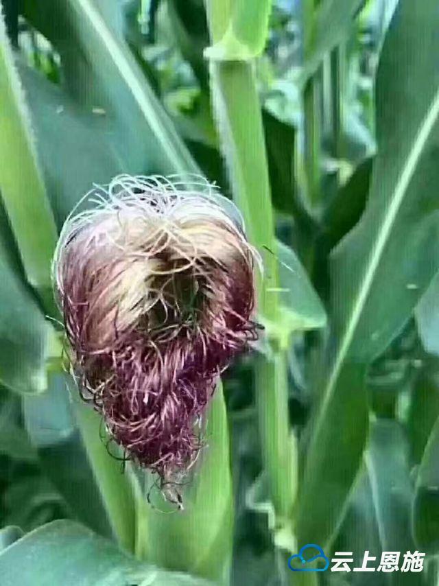 趣图 | 这玉米都成精了?还会扎小辫儿