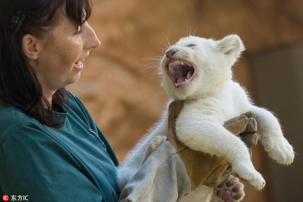 """德國動物園珍稀白獅寶寶接受體檢 對飼養員怒吼咆哮""""我超兇的"""""""