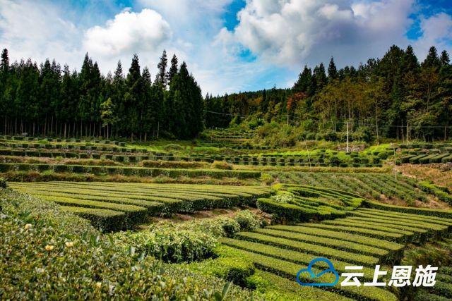 鹤峰   闭塞山村里的精致茶园