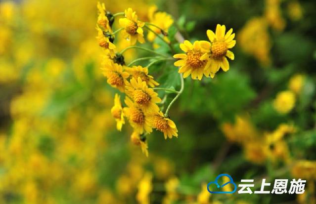 初冬的绽放——小野菊