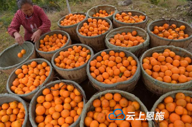 宣恩晓关:晚熟甜橙俏销 农民采摘忙