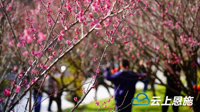 鹤峰:市民踏青赏花迎新春
