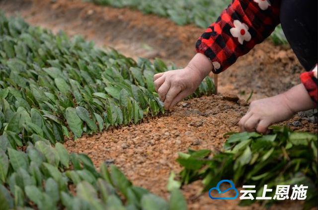 咸丰 春来育苗正忙 全力打造 曲江茶谷