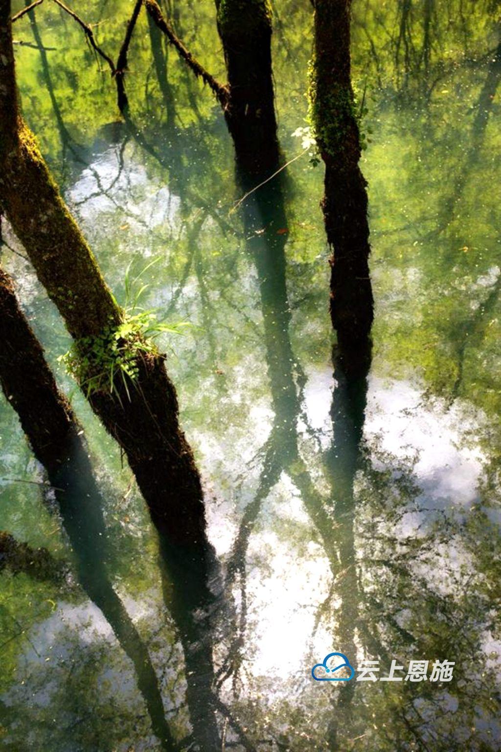 鹤峰有奇景!树在水中生 水在树间流