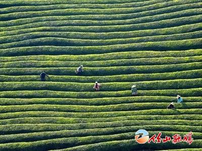 聽竹山 | 家鄉的那片茶葉園