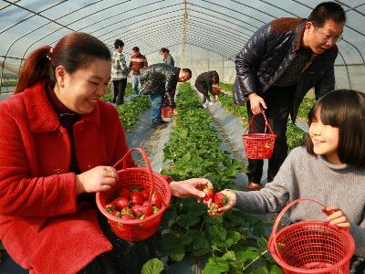 草莓种植带动贫困户脱贫