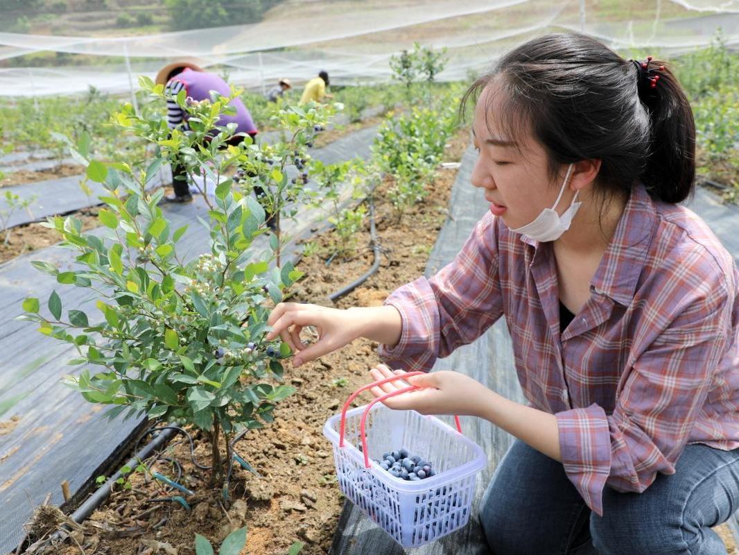 宝丰镇百亩蓝莓挂果飘香
