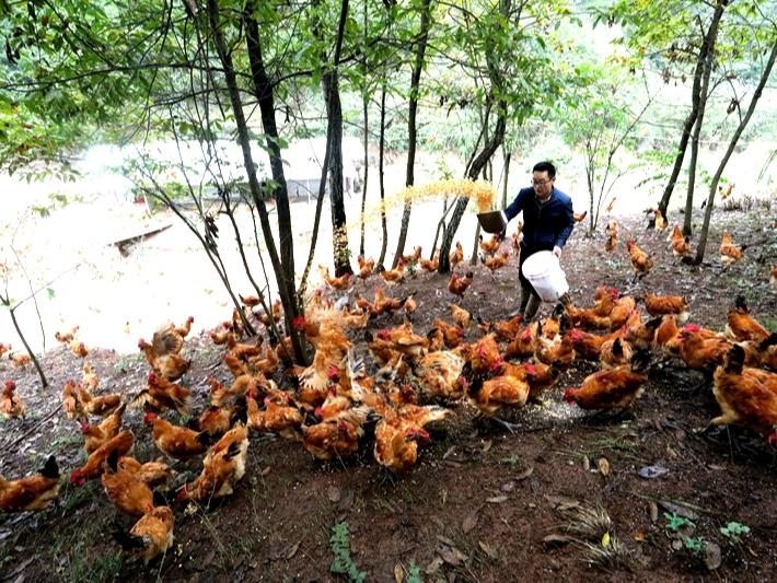 林下养鸡,拓展致富新门路