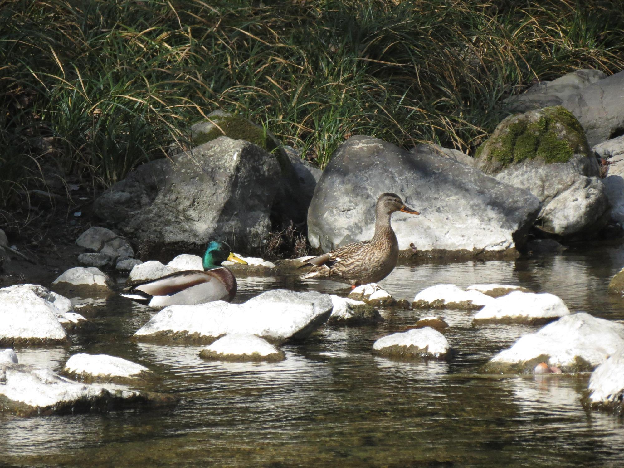 绿头鸭现身竹山墨池河