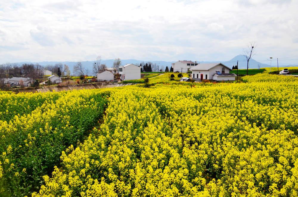 竹山:油菜花开遍地香