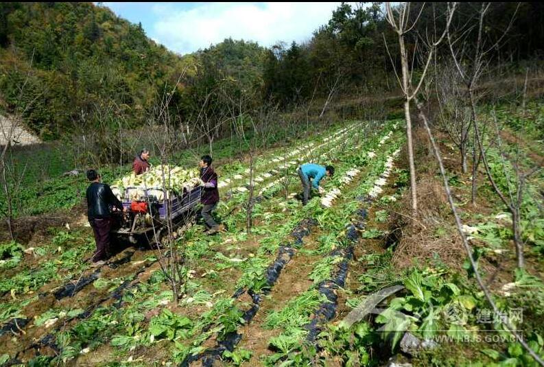 柒燎村的萝卜丰收了