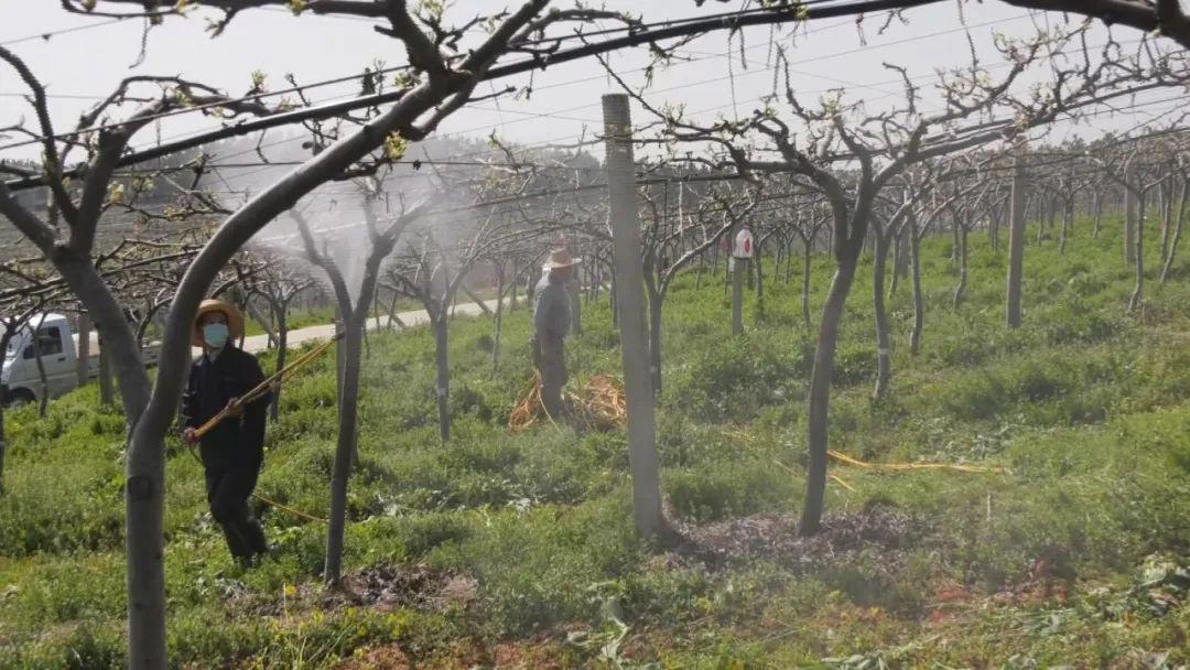 安陆伍欣甸园:防疫生产两不误 林果管护促增收