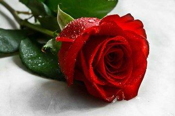 此外,玫瑰花作为食品虽然在加工过程中不允许使用硫磺熏蒸,但是由于