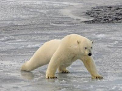 冰太薄 北极熊平铺身体借腹滑行