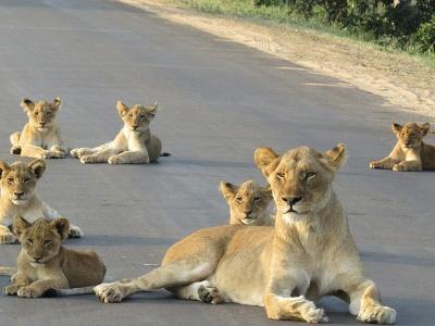 壁纸 动物 狮子 桌面 400_300