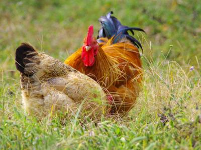 动物 鸡 400_300