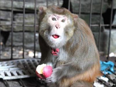爱心市民救助放生国家二级保护动物野生猕猴