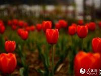 麻城:春光灿烂花如海