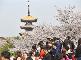 武汉东湖樱园吸引10万游客赏樱