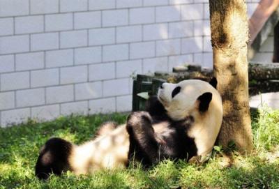 武汉动物园要为大熊猫建新馆了包含周边绿化占地4000平方米