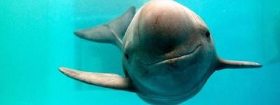 生态|长江江豚由濒危上升为极危