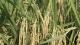 试种再生稻 头一季亩产超两千斤