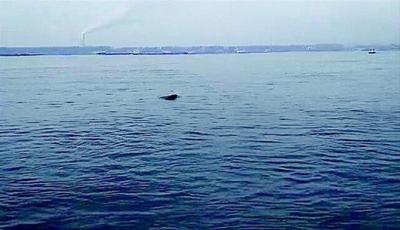 黄冈长江段惊现戏水江豚群:最大一头约有1.5米长