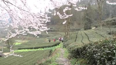 阳春三月 茶园采茶忙