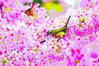 武汉大学周末赏樱名额全约满 细雨赏樱别具诗情画意