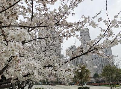 武汉20多个赏樱片区吸引全国游客打卡